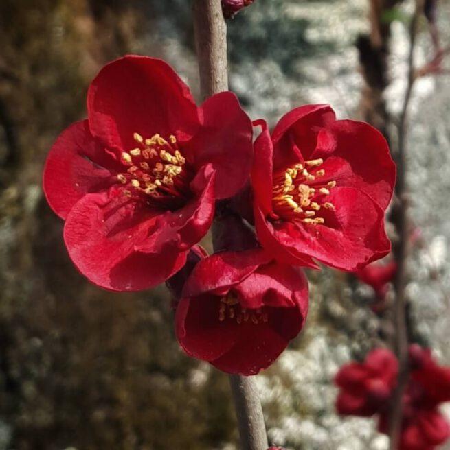 Japanse lente bloesem
