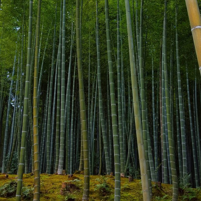 Bamboo forrest. Bamboe bos in Kyoto, Japan.