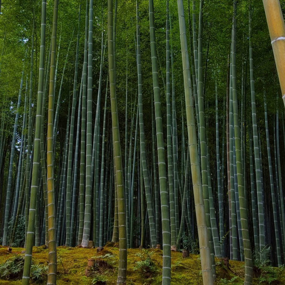Bamboo forrest. Bamboe bos in Kyoto.