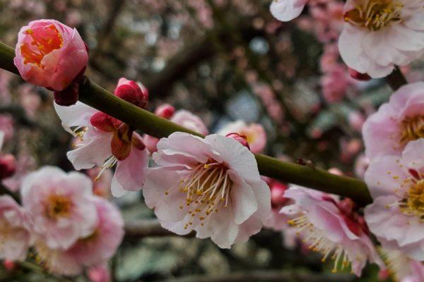 Sakura blossom Tokyo. Kersenbloesem in Tokio.