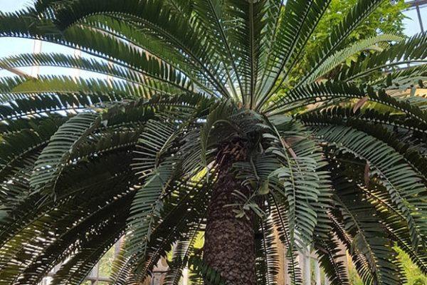 Oostkaapse Broodboom in Hortus amsterdam