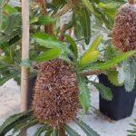 banksia-serrata in Hortus amsterdam