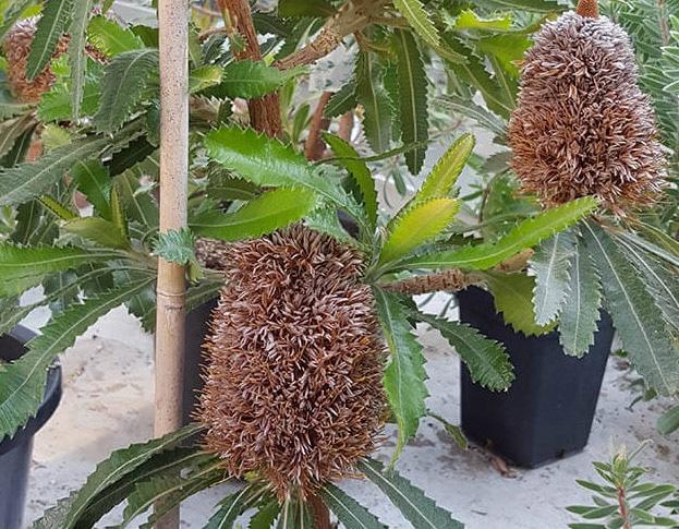 Banksia Serrata plant in bloei. Uit de Hortus Botanicus Amsterdam