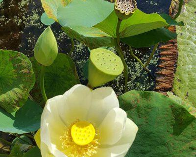 Lotus bloem en afterbloom in de Hortus Amsterdam