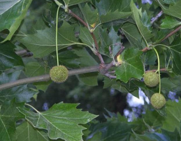 Plataan boom, blad met vrucht, uit de Hortus Botanicus in Amsterdam