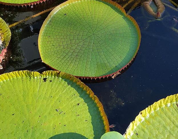 Victoria-blad in Hortus amsterdam